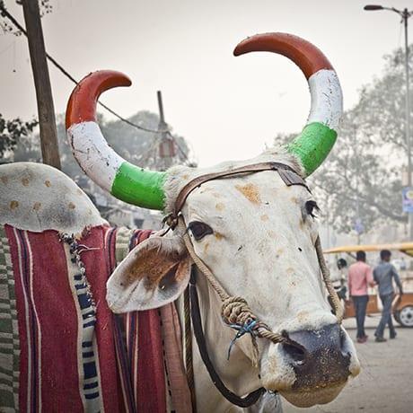 Inde vache sacrée