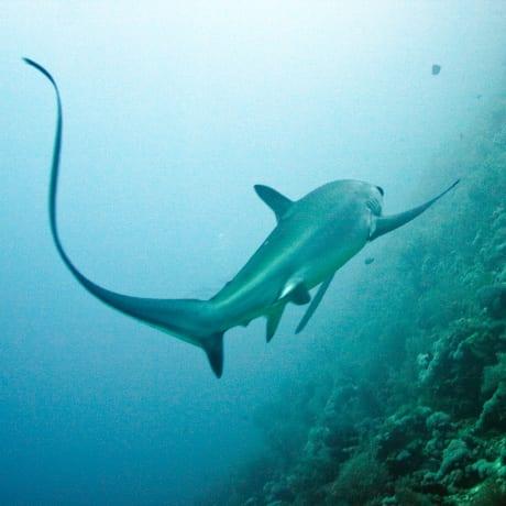 Un requin océanique aux Iles Brother