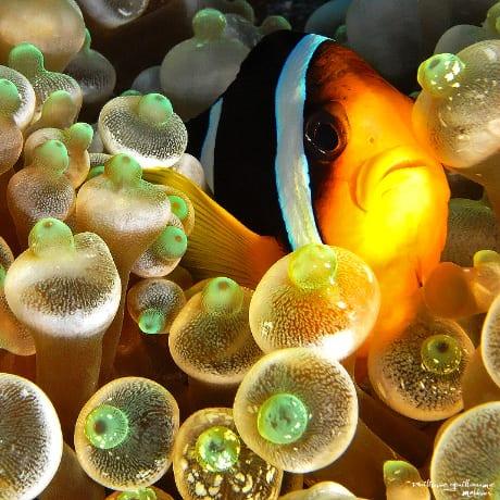 Maldives, au plus près d'un poisson clown dans son anémone